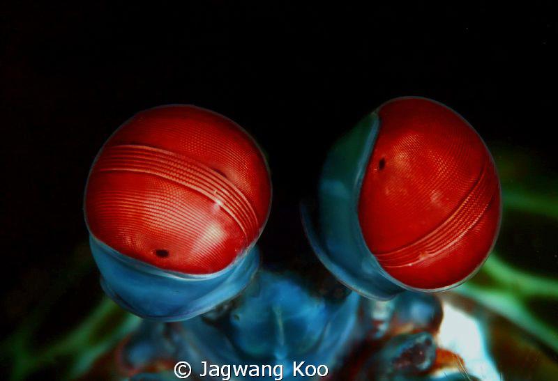 Eyes of Peacock Mantis Shrimp by Jagwang Koo