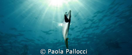 butterfly fish by Paola Pallocci