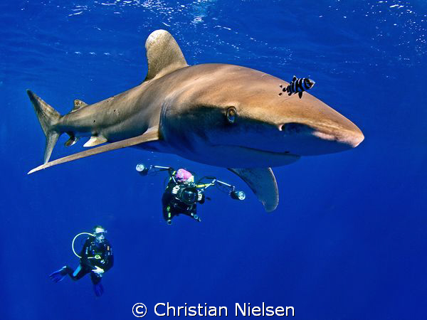 Kissing the dome ! Curious Longimanus at Daedalus Reef. T... by Christian Nielsen