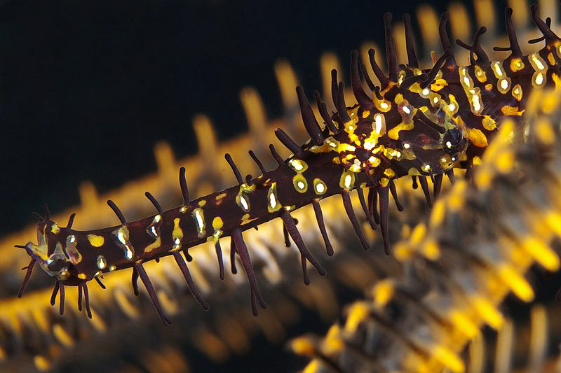 Ornate Ghost Pipefish, Tulamben by Doug Anderson