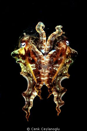 Cuttle fish at a night dive by Cenk Ceylanoglu