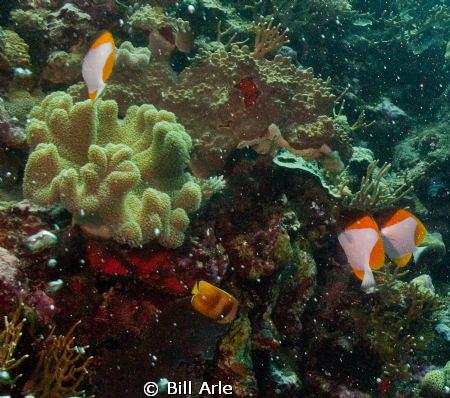 Coral Sea by Bill Arle