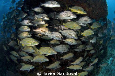 fish arround reef Isla Mujeres by Javier Sandoval