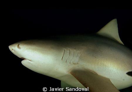 bull shark, nice and close by Javier Sandoval