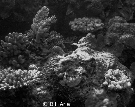 Corals in black and white.  Coral Sea by Bill Arle