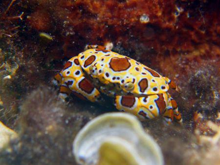 rare in caribben sea,a clown crabe (apnea shoot)... by Durand Gerald