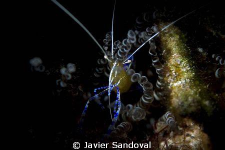 shrimp in anemone by Javier Sandoval