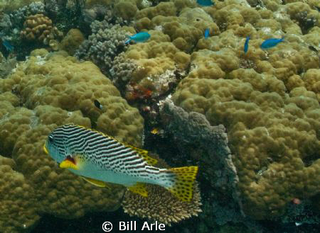 Sweetlips at Osprey Reef by Bill Arle
