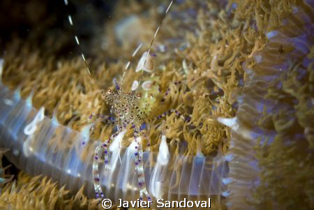nice shrimp in Cancun reef by Javier Sandoval