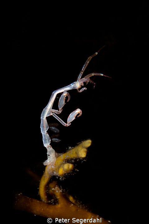 Ghost schrimp aka Caprella linearis  by Peter Segerdahl