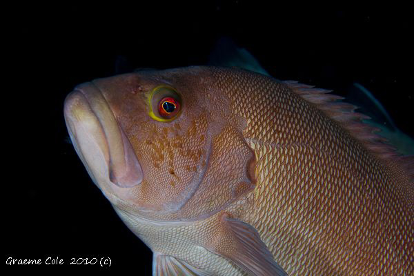Local fish called a Breaksea Cod fish usually found in ca... by Graeme Cole