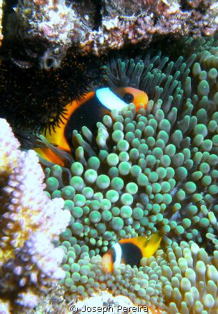 A family of clown fish I snuck up on while snorkeling at ... by Joseph Pereira