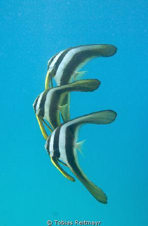 Longfin Batfish, just off the shore. Freediving at Sand B... by Tobias Reitmayr