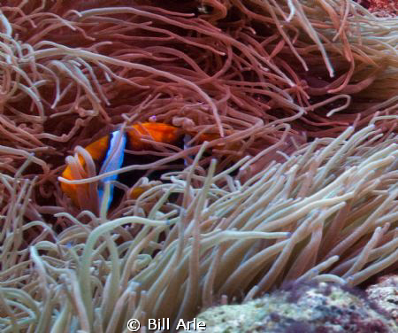 Can't see me...Coral Sea, anemone fish. by Bill Arle