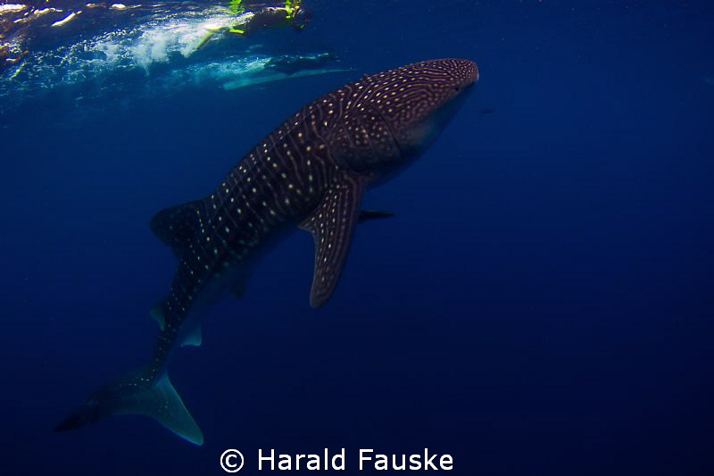 To dive/snorkling with this beautiful creatures is the be... by Harald Fauske