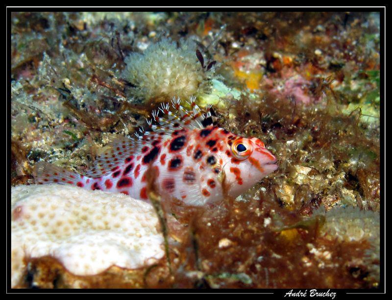 blénie de corail by André Bruchez