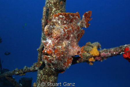 """Red frog fish on the """"Deep LCU"""" wreck off Oahu's west side. by Stuart Ganz"""