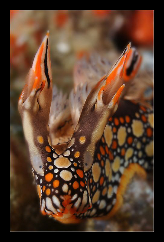 Bornella Anguilla by Charles Wright 