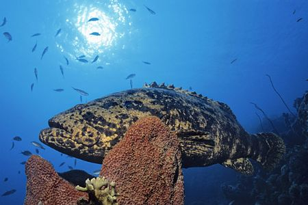 Goliat grouper, Nikonos 15mm, Bonaire by Tim Peters Fish-eye Photo