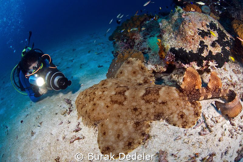 A videographer shooting a close up video of a wobbegong. by Burak Dedeler