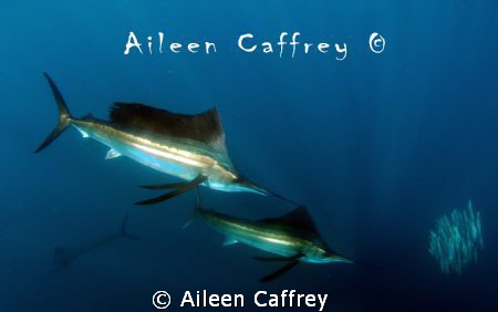 Sailfish and Marlin chasing baitball by Aileen Caffrey
