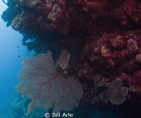 Soft coral by Bill Arle