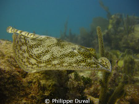 Incredible yellow sting ray at escuelita. Xpuha playa the... by Philippe Duval