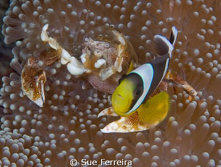Aneneme and crab partners by Sue Ferreira