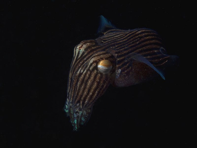 Striped Pyjama Squid, Chowder Bay by Doug Anderson