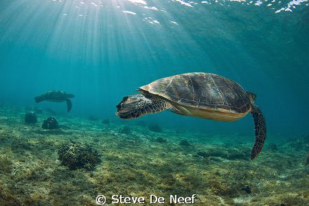 Two Green Sea turtles in the shallows of Apo Island. by Steve De Neef