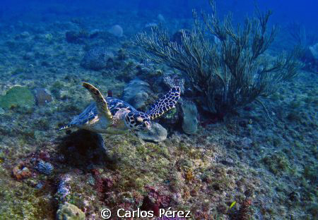 Green Turtle @ El Natural Beach Aguadilla, PR by Carlos Pérez