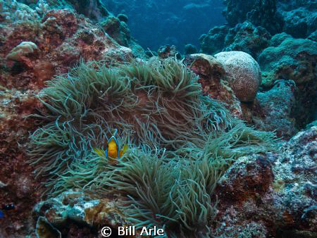 Anemone fish.  Coral Sea.  Canon G-10. by Bill Arle