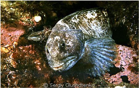 Сatfish by Sergiy Glushchenko