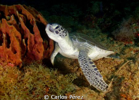 Green Sea Turtle Fliendly Clos up @ Aguadilla PR by Carlos Pérez