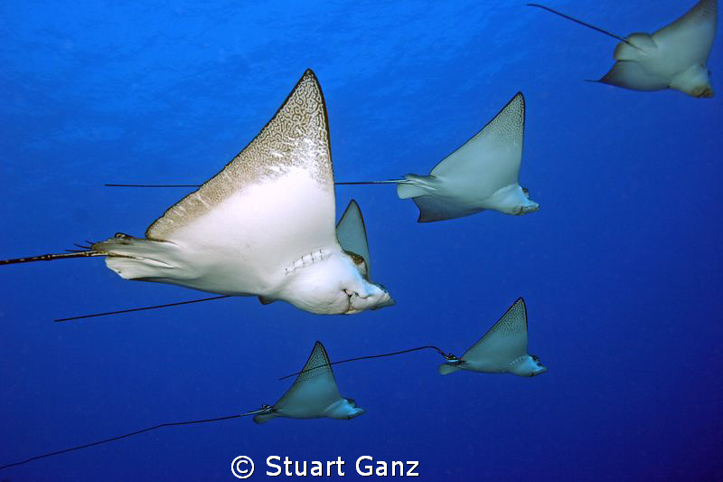 """Spotted eagle rays swimming over the """"Mahi"""" ship wreck. by Stuart Ganz"""