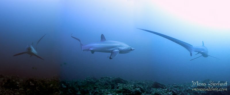 early morning encounter with a thresher shark. You see th... by Mona Dienhart