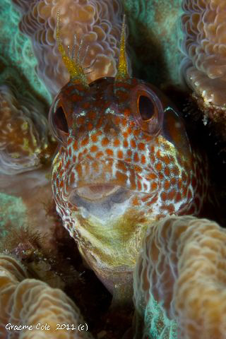 Blenny in a coral head. by Graeme Cole