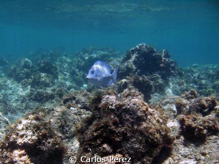 Solo Blue Tang @ Shaks Caves Isabela Puerto Rico by Carlos Pérez