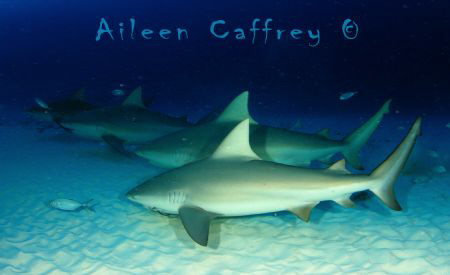 This School Rocks!  Bull Sharks by Aileen Caffrey
