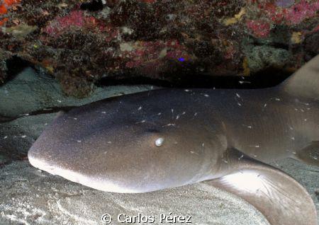 Nurse Shark @ Andrea's Reef Guanica Puerto Rico by Carlos Pérez