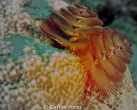 Christmas Tree Worm @ Windows Reef Guanica PR by Carlos Pérez