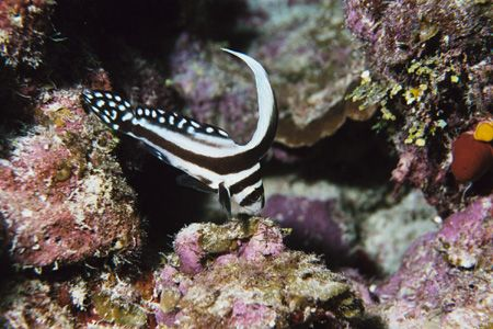 Juvenile Spotted Drum. Grand Cayman. by Jacques Miller