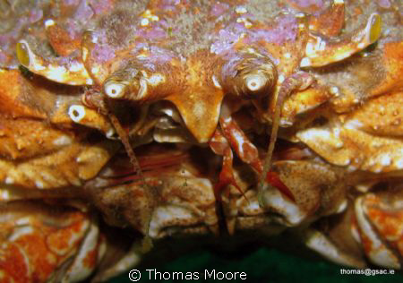 Close up of a Spider Crab.  Taken at Inis Oirr in Galway ... by Thomas Moore 
