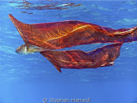 I took a very rare photo of a blanket octopus. These are ... by Stephen Hamedl