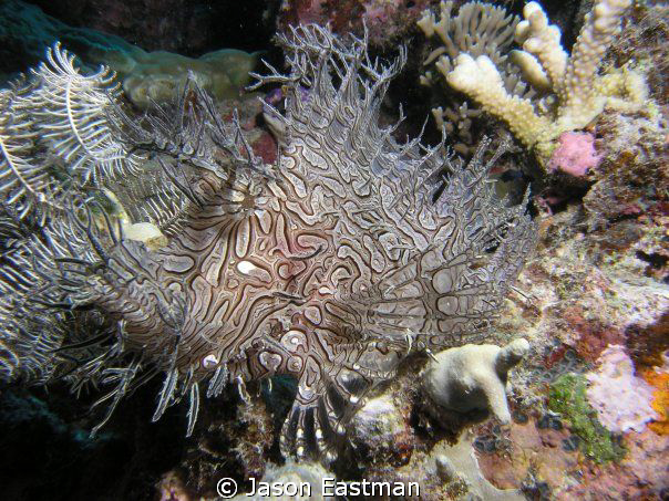 Lacy Scorpionfish:  Master of Camoflauge.  Great Barrier... by Jason Eastman