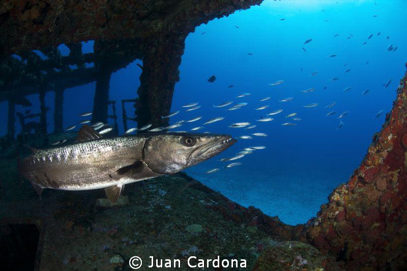 Barracuda at the C-58 anaya wreck by Juan Cardona