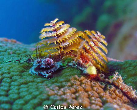 Christmas Tree Worm @ El Natural Reef Aguadilla PR; Seali... by Carlos Pérez