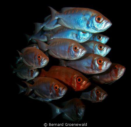 SHOAL OF BIGEYES by Bernard Groenewald