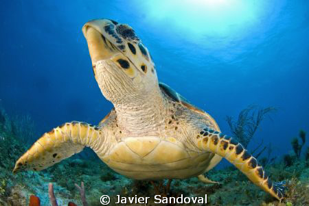 turtle smiling by Javier Sandoval