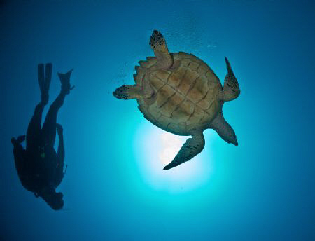 Turtle and diver. by Juan Torres